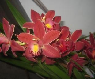 Objekta detalizēta meklēšana :: : Orhidejas.lv exotic flowers and animals