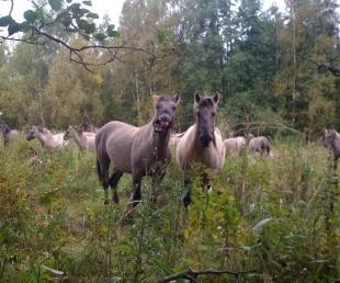 Savvaļas zirgi Liepājas rajonā