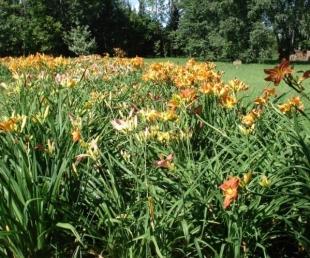 Dienliliju dārzs pie Staburaga