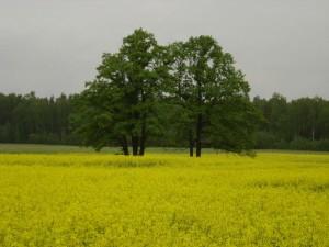 Dzelteni vilnainais rapsu lauks