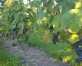 """Trošu ceļš pāri Abavai, botānikas taka un vīna degustācija saimniecībā """"Drubazas"""""""