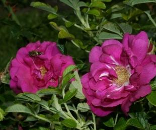 Rožu svētki Tukumā(ARHĪVS)