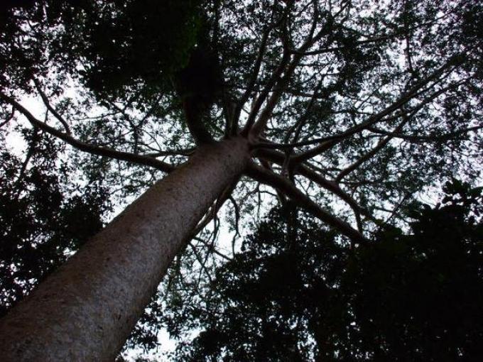 Latvijas dižumi ( Nr. 2- koki)