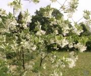 NBD Salaspilī zied īrisi un sniegpārsliņu koks(ARHĪVS)